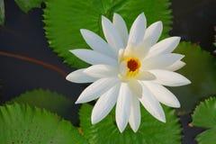 Loto blanco hermoso Imagenes de archivo