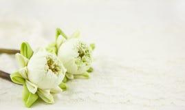 Loto blanco hermoso con el pétalo del doblez en blanco Fotos de archivo