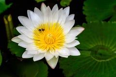 Loto blanco hermoso (lirio de agua) Imagen de archivo libre de regalías