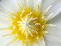 Loto blanco o lirio de agua hermoso en la charca Imagenes de archivo
