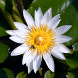 Loto blanco y abeja Fotos de archivo libres de regalías