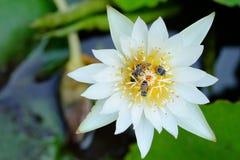 Loto blanco y abeja Foto de archivo libre de regalías