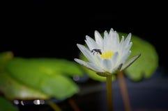 Loto blanco y abeja Imagenes de archivo