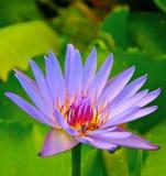 Loto coloreado violeta Foto de archivo libre de regalías