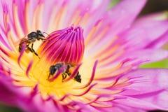 Loto con la abeja Fotografía de archivo libre de regalías