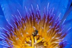 Loto con la abeja Foto de archivo libre de regalías