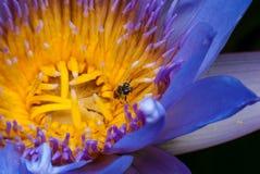 Loto con la abeja Fotos de archivo