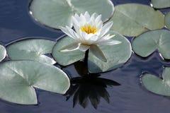 Loto de la flor blanca con la reflexión en el agua Imagen de archivo libre de regalías