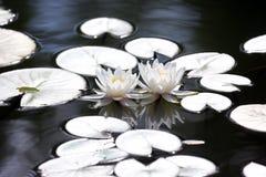 Loto de la flor blanca dos con la reflexión en el agua Imagenes de archivo