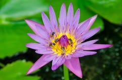 Loto de la flor con la abeja Imagen de archivo libre de regalías