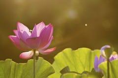 Loto de la floración bajo luz del sol Fotos de archivo