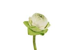 Loto de la floración del primer Imagen de archivo libre de regalías