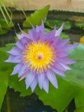 Loto de la púrpura del primer Imagenes de archivo
