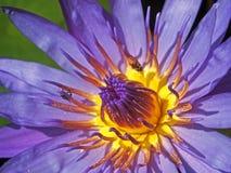 Loto de la púrpura real como fuente de la comida para los insectos. Imagen de archivo