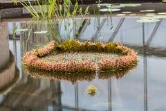 Loto de Victoria del gigante en agua Foto de archivo libre de regalías