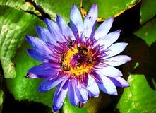 Loto de Vilolet, lirio de agua que florece con el ot del al de abejas Foto de archivo