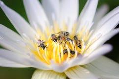 Loto del enjambre de la abeja Foto de archivo