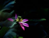 loto del fiore Fotografia Stock Libera da Diritti