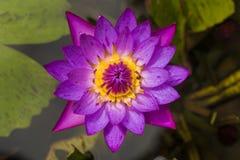 Loto del lirio de agua púrpura o de la estrella azul con cierre amarillo y verde del fondo encima del viel del top del detalle -  Fotos de archivo libres de regalías