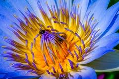 Loto del primer con las abejas dentro Foto de archivo libre de regalías