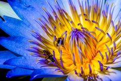 Loto del primer con las abejas dentro Fotografía de archivo