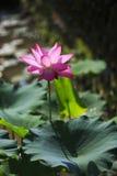 Loto di fioritura Fotografie Stock Libere da Diritti