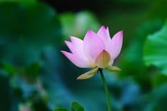Loto di fioritura Fotografia Stock Libera da Diritti