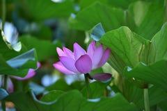 Loto di fioritura Fotografia Stock