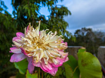 loto doble hermoso en cumbre Imagen de archivo