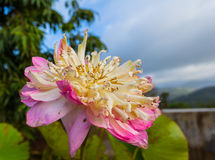 loto doble hermoso en cumbre Fotos de archivo