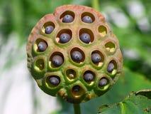 Loto dopo la fioritura, semi. Immagini Stock