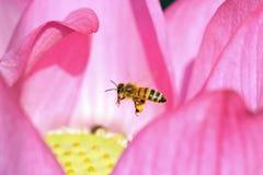 Loto ed ape Fotografia Stock Libera da Diritti