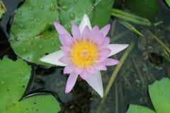 Loto en la charca las flores de loto en la charca están en la plena floración Foto de archivo libre de regalías