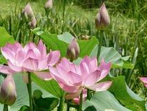 Loto en la plena floración Imagen de archivo libre de regalías
