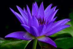 loto, flor, azul, Imagenes de archivo