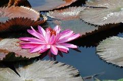 Loto floreciente Imagen de archivo libre de regalías