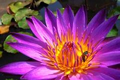 Loto floreciente Fotografía de archivo libre de regalías