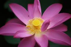 Loto floreciente con la abeja Imagenes de archivo