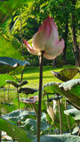 Loto floreciente en la charca en el día de verano caliente Fotografía de archivo