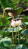Loto floreciente en la charca en el día de verano caliente Fotos de archivo libres de regalías