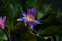 Loto floreciente púrpura Imagenes de archivo