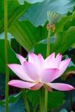 Loto flower6 Fotos de archivo libres de regalías
