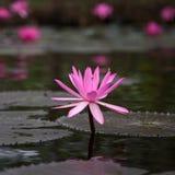 Loto fucsia-coloreado flor de la estrella del nouchali del Nymphaea Imagen de archivo libre de regalías