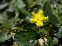 Loto giallo, fiocco di neve dell'acqua Fotografie Stock Libere da Diritti