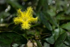 Loto giallo, fiocco di neve dell'acqua Fotografia Stock