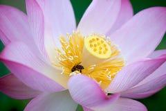 Loto hermoso con la abeja Imagen de archivo libre de regalías