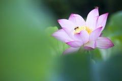 Loto hermoso del rosa del verano con el fondo agradable Imagen de archivo libre de regalías