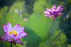 Loto hermoso del rosa del verano con el fondo agradable Fotografía de archivo libre de regalías