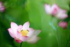 Loto hermoso del rosa del verano con el fondo agradable Imagen de archivo