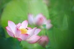 Loto hermoso del rosa del verano con el fondo agradable Fotos de archivo libres de regalías